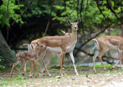 Antilopa jeleňovitá