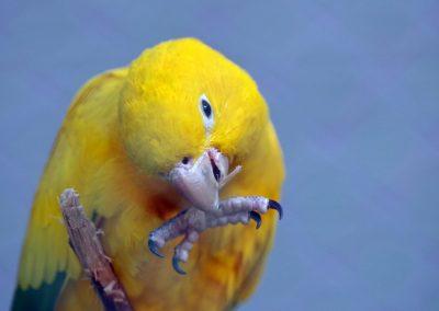Aratinga žltá