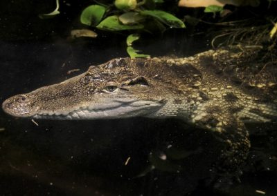 Krokodíl olivový