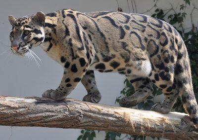 Leopard obláčkový
