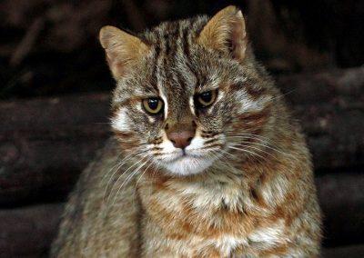 Mačka amurská