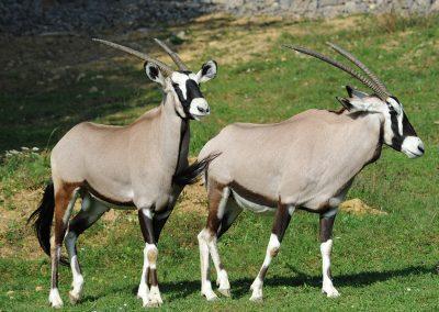 Oryx juhoafrický