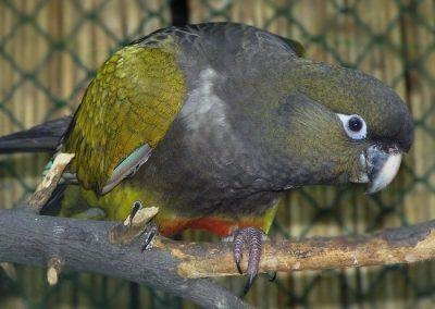 Papagáj patagónsky