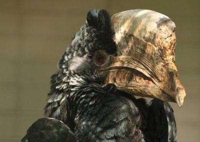 Zobákorožec čiernobiely
