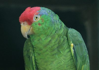 Amazoňan červenočelý