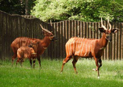 Antilopa bongo
