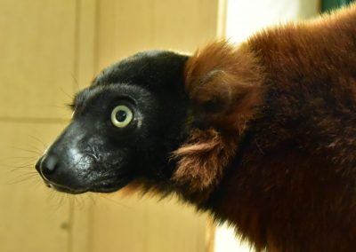 Lemur vari červený