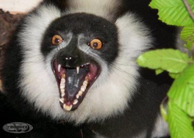 Lemur vari čiernobiely