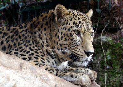Leopard perzský