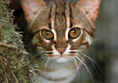 Mačka červenoškvrnná