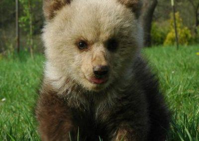 Medveď hnedý európsky