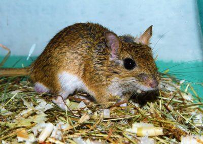 Myš trpasličia