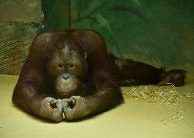 Orangutan bornejský