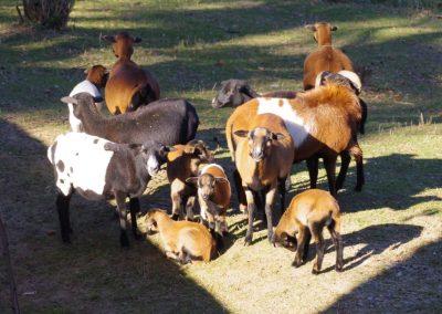 Ovca domáca kamerunská