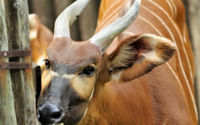 Národná zoo Bojnice získala samca vzácnej antilopy