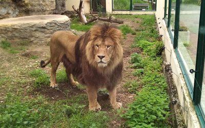 Lev Ramzes opustil brány Národnej zoo Bojnice