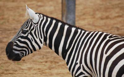 Národná zoo Bojnice získala vzácne zebry bezhrivé