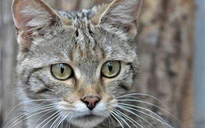 Hľadáme mačku, pozor, divú!
