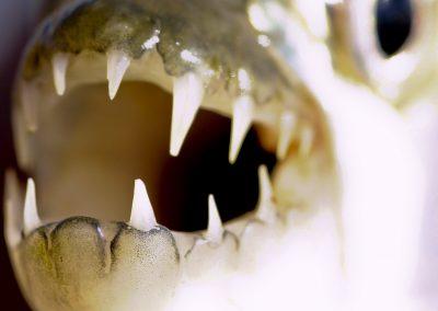 Žralok Afriky