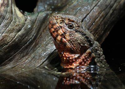 Krokodílovec čínsky