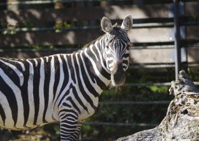 Zebra bezhrivá