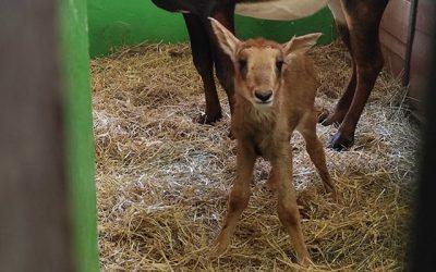 """Malý """"Eze"""" je novým členom antilopej rodiny"""