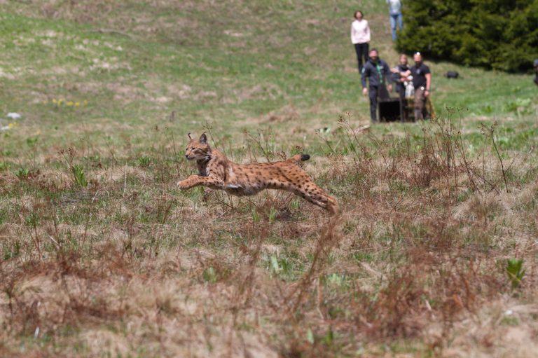 Prvé kroky Emila v Národnom parku Velebit. Foto: Vedran Slijepčević, LIFE Lynx