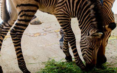 V Národnej zoo Bojnice sme privítali nádherné mláďa zebry Hartmannovej