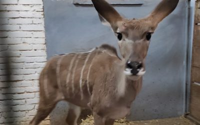Národná zoologická záhrada Bojnice je bohatšia o vzácny exemplár antilopy