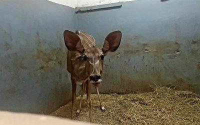 V Národnej zoologickej záhrade Bojnice sa rozrástla antilopia rodina