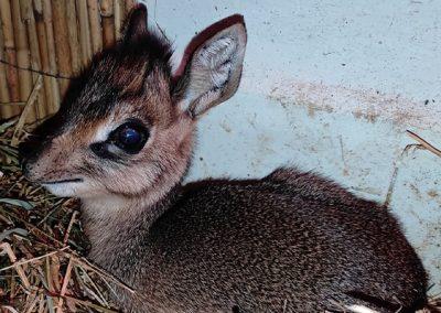 Expozícia antilopy dikdik sa počas sobotnej noci rozrástla o jednu krásnu samičku.